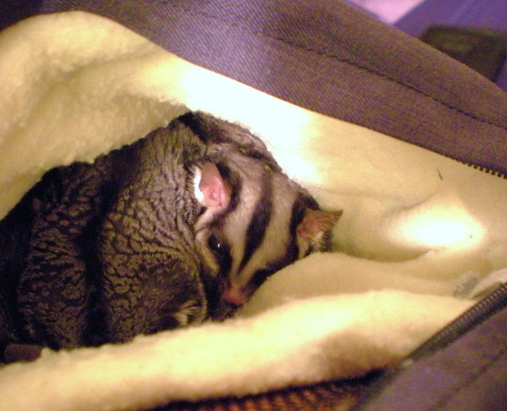 sugar glider tertidur dalam pouch