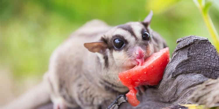 sugar glider makan strawberry