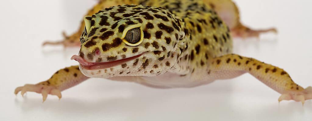 cara merawat gecko leopard