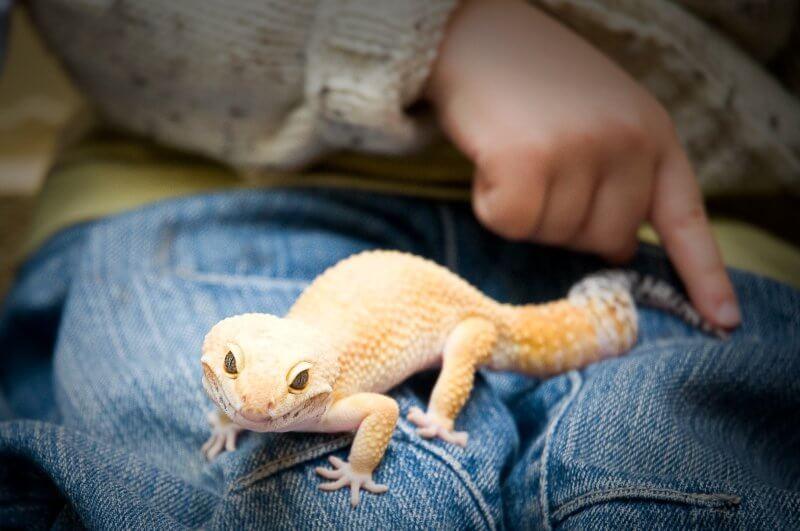 cara merawat leopard gecko