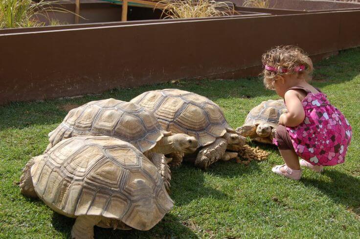 kura kura sulcata sebagai kura kura terbesar di dunia