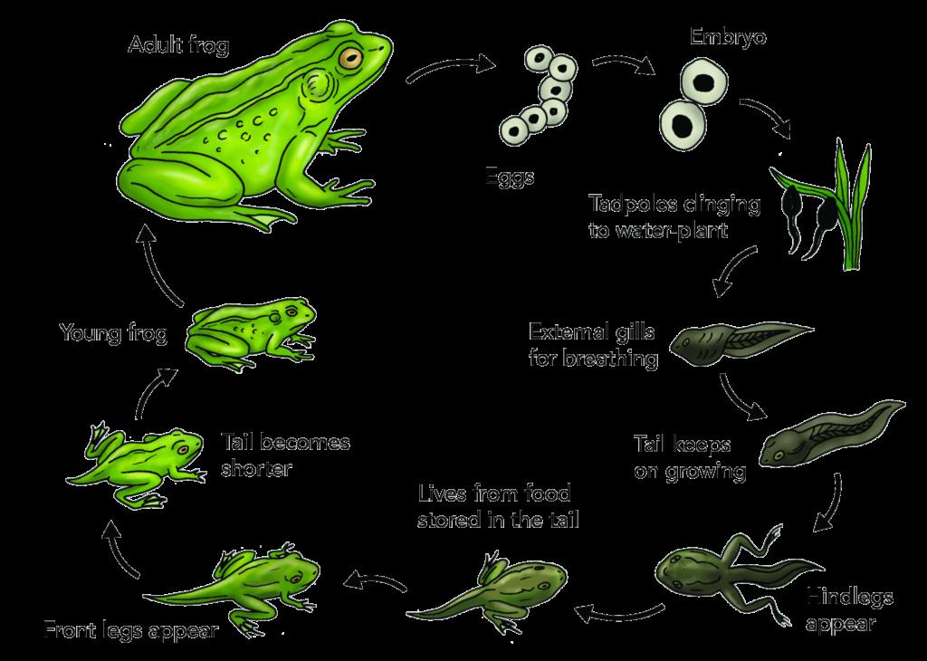 gambar urutan metamorfosis katak