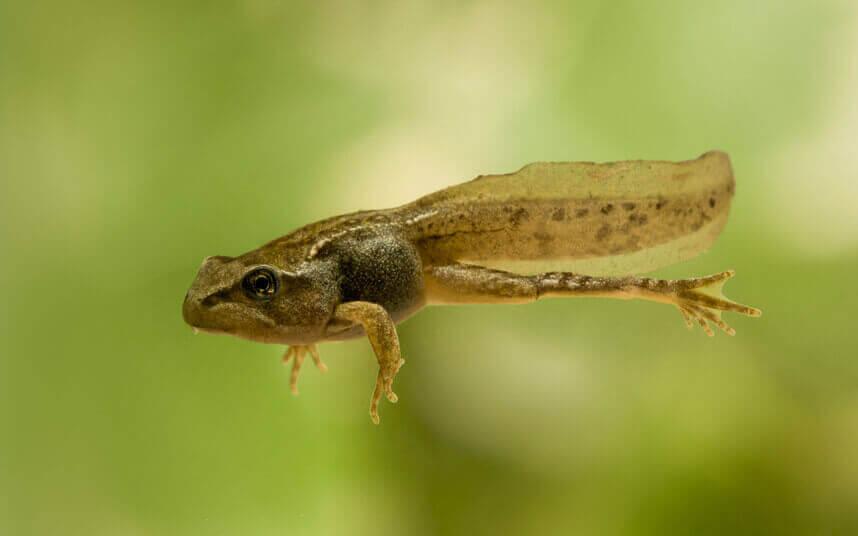 kecebong katak fase metamorfosis katak
