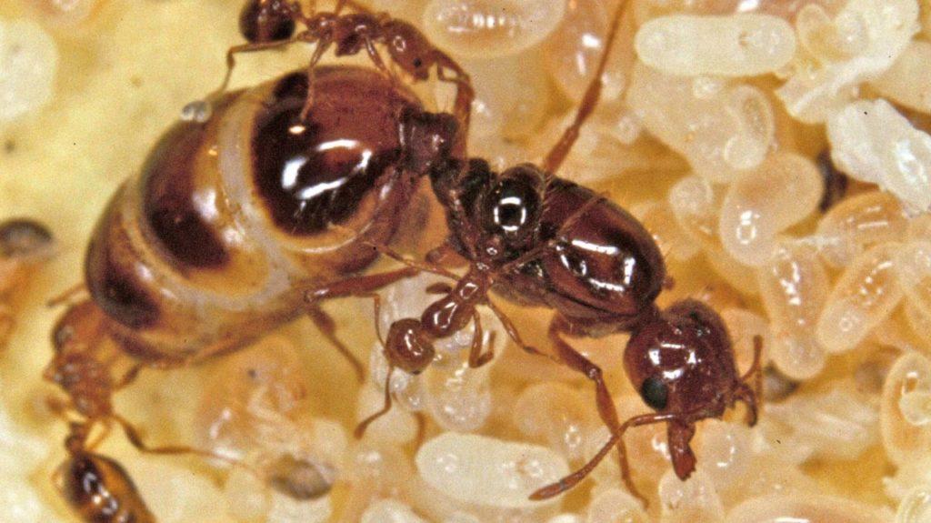 ratu lebah dan koloninya