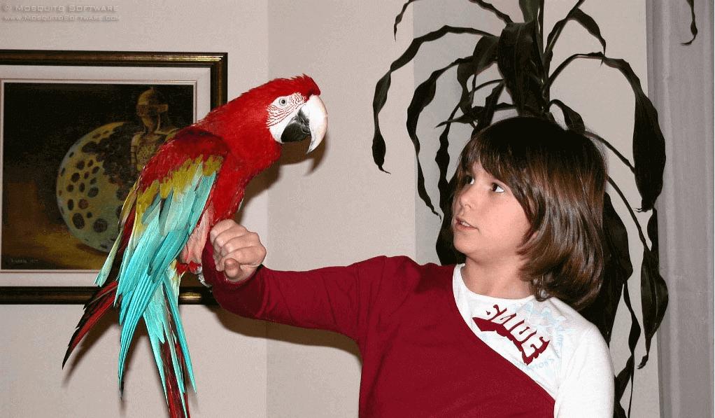 burung maccaw sebagai burung peliharaan