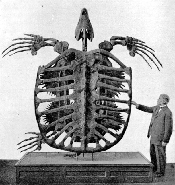 kerangka archelon sebagai kura kura terbesar di bumi