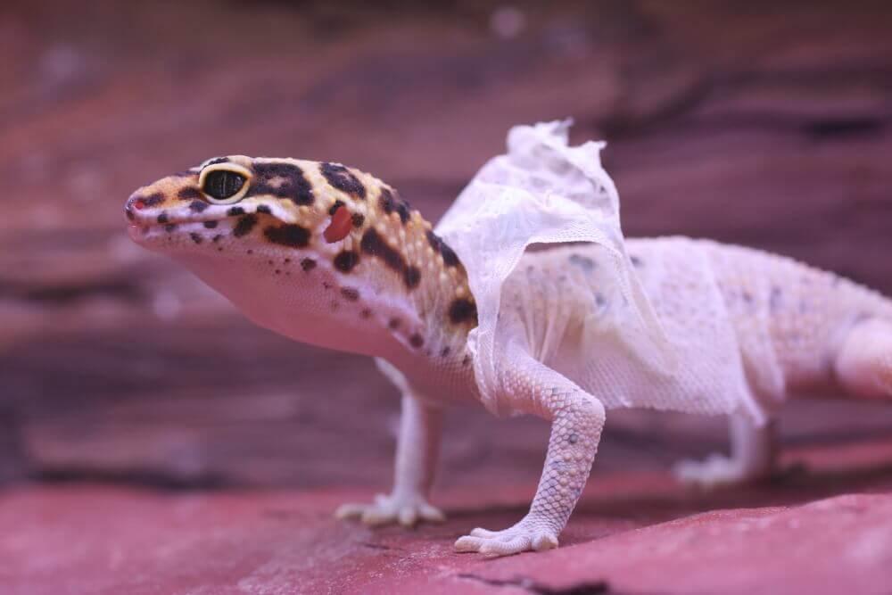 cara merawat gecko dengan memperhatikan gecko ketika berganti kulit