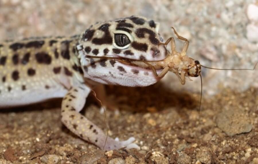 merawat leopard gecko dengan memeberi makan jangkrik