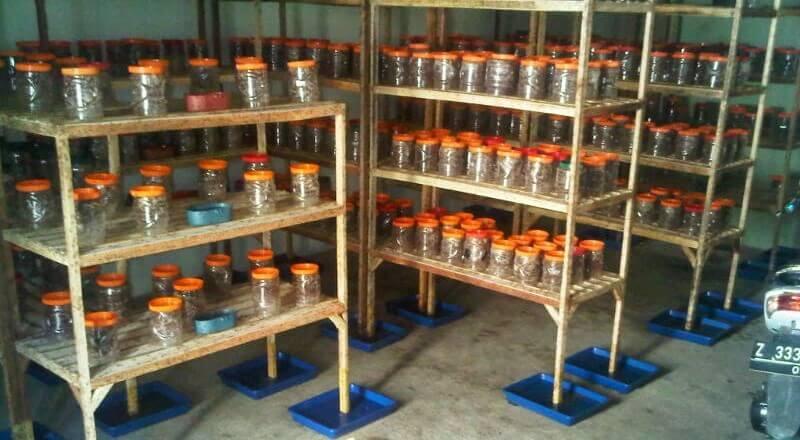 rak kandang semut rangrang untuk ternak