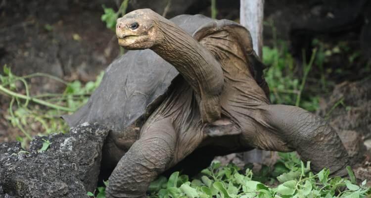 kura kura galapagos sebagai kura kura terbesar yang masih hidup