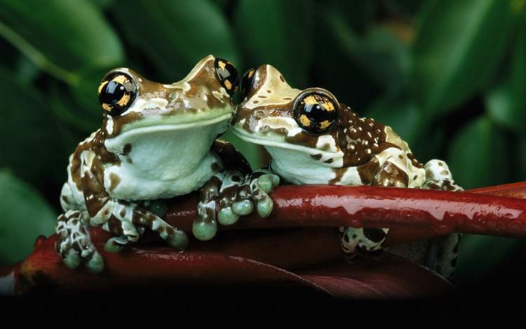 sepasang katak metamorfosis katak