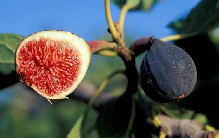 buah tin segar