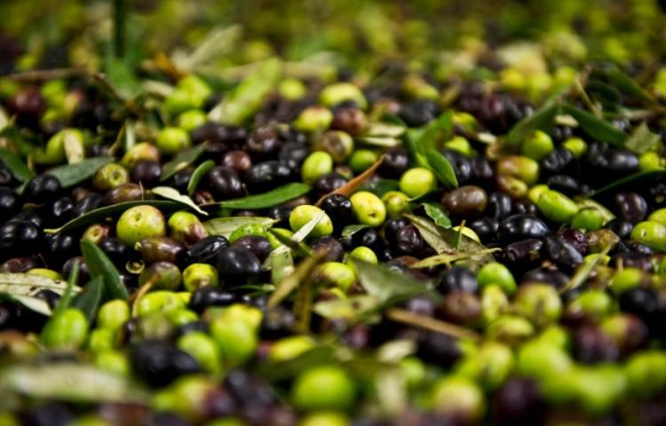 kumpulan buah zaitun